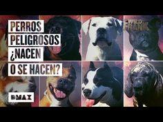 Wild Frank investiga la situación de los perros potencialmente peligrosos en España - YouTube Akita, Rottweiler, Pitbull, Staffordshire Bull Terrier, About Me Blog, Dogs, Velvet, Youtube, Gatos
