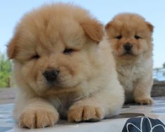Cute Little Animals, Little Dogs, Cute Puppies, Dogs And Puppies, Doggies, Princess Dog Bed, Fat Dogs, Chow Chow Dogs, English Bulldog Puppies