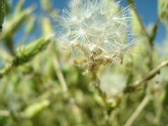 Semillas de lechuga. (agosto 2012)