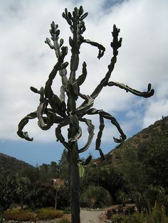 a cactus tree with a personality, Catalina Island, june 2009. see more at http://www.flickr.com/photos/farshidk/sets/72157620750271615/