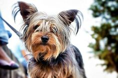 Amazing longest living dog breeds. Yorkshire Terrier  dogs. Riley the Yorkie! love her!Taylor: This is by far the cutest and most gorgeous Yorkie I have EVER seen! #yorkshireterrier