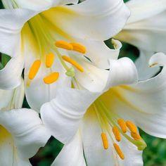 carpet lily bulbs. carpet border lemon pixie lily bulbs | buy garden plants online pinterest carpets, and lilies