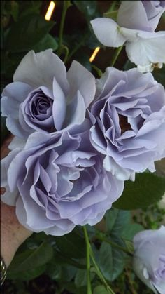 Blue Bayou Roses - Roses Forum - GardenWeb