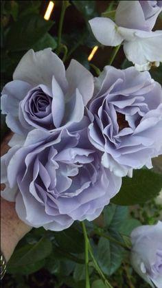 ~Blue Bayou Roses