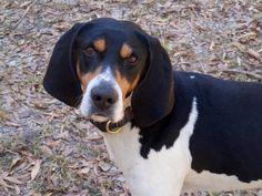 treeing walker couonhound photo | Lost Dog Treeing Walker Coonhound in NEWTON, AL - Lost My Doggie Dog Lover Gifts, Dog Lovers, Treeing Walker Coonhound, Losing A Dog, Hound Dog, Lost, Daisy, Animals, Blue