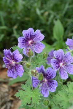 Geranium x magnificum 'Rosemoor' (Rosemoor Cranesbill)