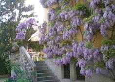 glicine a venezia - Lido di Venezia