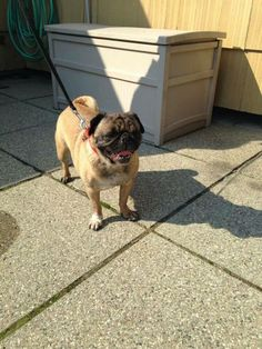 Pug Rescue Network would like to welcome Zella to rescue