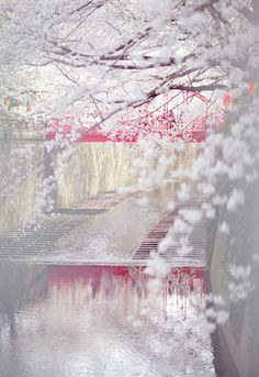 待落花时节,我陪你赏樱花如雪。