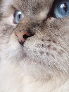 Blue eyed blue point cat by Yousef Shanti