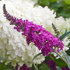 The 'Miss Ruby' butterfly bush attracts butterflies and hummingbirds, has a compact habit ft), and remarkably vivid, rich fuchsia flowers that bloom all summer. This deciduous shrub grows in full sun in zones Fragrant and deer resistant. Flowering Shrubs, Trees And Shrubs, Magenta Flowers, Beautiful Flowers, Beautiful Pictures, Buddleja Davidii, Formal Garden Design, Limelight Hydrangea, Butterfly Bush