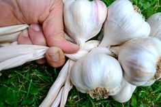 How to braid garlic. Remember to check whether you planted hard neck or soft neck garlic.  You can braid soft neck, but not hard neck.  Hard neck is bundled at the top of the stem and hung, bulb end down.