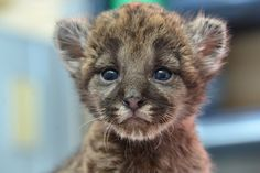 Precious Panther Cub Makes His Debut A rescued Florida Panther kitten is being held for neonatal care and rearing at the zoo in Tampa, Fla. Baby Panther, Panther Cub, Baby Zoo Animals, Cute Animals, Beautiful Creatures, Animals Beautiful, Big Cats, Cats And Kittens, Gato Grande