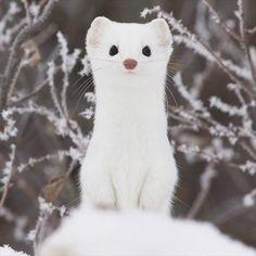 丸い耳に真っ黒な目、ピンク色の小さなハナが可愛らしい「オコジョ」ですが、夏と冬では印象がガラリと変わります。カモフラージュの為なのか、夏は周りの岩や木々と同じ茶色い毛皮、一方冬は一面の雪と同化してしまいそうなほど真っ白な毛皮へと大変身するオコジョたち。