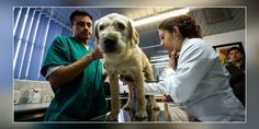 Keyhole Surgery Procedure For Painfree Sterilization Of Stray Dogs