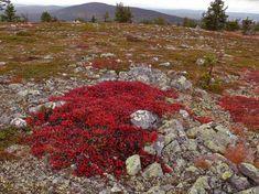 Alpine Bearberry, Orkney, Scotland.