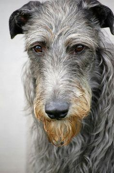 Scottish Deerhound ~ Resembling a larger, coated Greyhound, the Scottish Deerhound is a keen and alert sight hound, seen often in lure coursing events and the show ring. One of the oldest breeds, the Deerhound possesses a preeminent hunting ability.   ...........click here to find out more     http://googydog.com