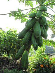 Papaya tree - How to grow & care Papaya Tree, Season Colors, Fruit, Vegetables, Plants, Vegetable Recipes, Plant, Veggies, Planets