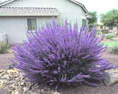 PlantFiles Pictures: Texas Sage 'Lynn's Legacy' (Leucophyllum langmaniae), 1 by PeriopRx Texas Landscaping, Front Yard Landscaping, Plantas Do Texas, Sage Bush, Sage Plant, Texas Plants, Drought Tolerant Landscape, Drought Resistant Plants, Front Yard Design