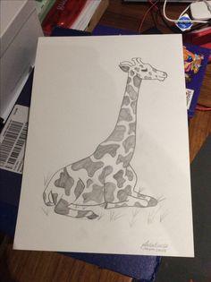 A resting giraffe