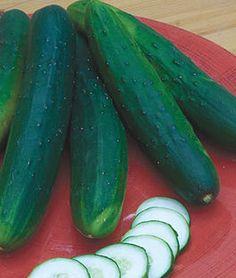 Cucumber, Sweet Burpless Hybrid,