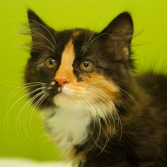 Raja: Domestic Medium Hair, Cat; Neenah, WI