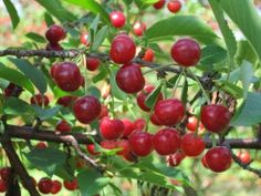 Pick Your Own raspberries, cherries, currants, plums, peaches, apples in Lanesborough MA