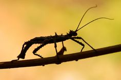 Spiny stick insect (Haaniella Muelierii)