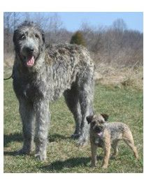 Gran Mastin de Borinquen - A.k.a. Puerto Rican Mastiff
