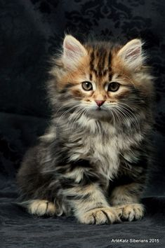 Fantastic Beautiful cats info are offered on our site. Check it out and you wont be sorry you did. Siberian Kittens, Fluffy Kittens, Cute Cats And Kittens, Baby Cats, Kittens Cutest, Fluffy Cat, Pretty Cats, Beautiful Cats, Animals Beautiful