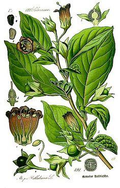 Belladonna in der Homöopathie