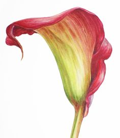 Calla lily - watercolour by Dianne Sutherland