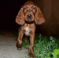 füles ír szetter irish setter puppy