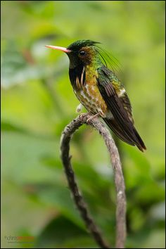 Black-Crested Coquette (Lophornis helenae), Costa Rica, by Chris Jimenez