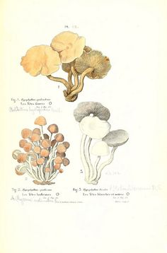 Fungi - botanical print