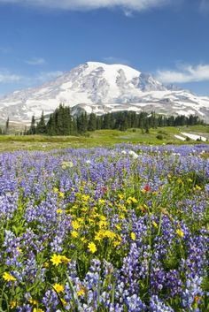 Mount Rainier National Park, Washington, United States Of America; Wildflowers In Paradise Park With Mount Rainier In The Background Poster Print (24 x 38)