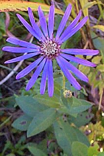 Spring flowers in williamson georgia springtime in georgia georgia aster symphyotrichum georgianum also known as aster georgianus plant type perennial can reach 39inches flowers they are violet mightylinksfo