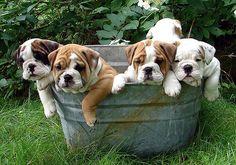 Tub Full of Puppies
