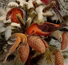 Antique print.1884.Birds:Ploceidae.CROSSBILLS and PINE