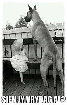The Great Dane is a breed of dog that is huge. Here are some Amazing Pictures Of Great Dane. Big Dogs, I Love Dogs, Dogs And Puppies, Corgi Puppies, Giant Dogs, Doggies, Animals For Kids, Animals And Pets, Cute Animals