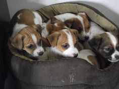 Gorgeous little Jack Russell Puppies!