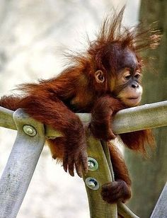"""Baby monkey sadly rested in his cage. Baby monkey told his mother, """"I didn't sleep very well last night. Primates, Cute Baby Animals, Animals And Pets, Funny Animals, Baby Orangutan, Cute Monkey, Monkey Baby, Pet Birds, Animals Beautiful"""