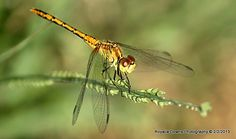 yellow dragonfly Insects, Bee, Yellow, Photography, Animals, Honey Bees, Photograph, Animales, Animaux