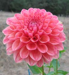 "Alpen X dahlia.   Height - 3' Blooms - 6"" Form - Formal Decorative  Vert early bloomer. One of our most productive cut flowers. Produces lots of blooms. Great substance and stem make this a great cut flower. $5.75"