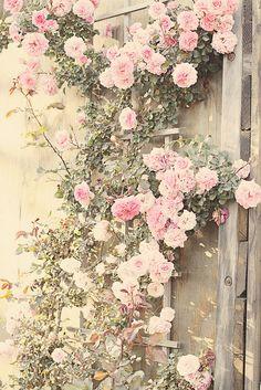 Beautiful climbing roses.photo by Maria Dodson Starzyk via Flickr Lucia &Mapp