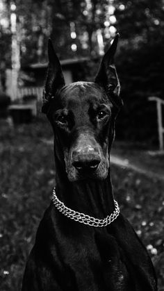 Wallpaper Please, Iphone Wallpaper, Doberman Dogs, Aesthetic Wallpapers, Animals And Pets, Puppies, Horses, Beautiful, Pets