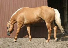 American Quarter Horse