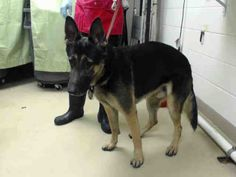 01/12/15 STILL THERE - SUPER URGENT - HOUSTON - This DOG - ID#A422200 I am a male, black and brown German Shepherd Dog mix. My age is unknown. I have been at the shelter since Jan 03, 2015.