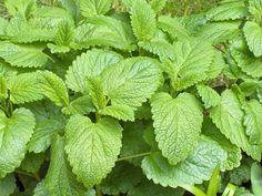 Plantas medicinales para combatir el dolor de cabeza http://cafeyte.about.com/od/Tisanas-Y-T-E-De-Hierbas/ss/Las-mejores-plantas-para-el-dolor-de-cabeza.htm