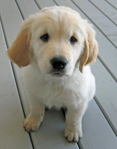 Golden Retriever puppy. We can name him Brewster, call him Brew for short